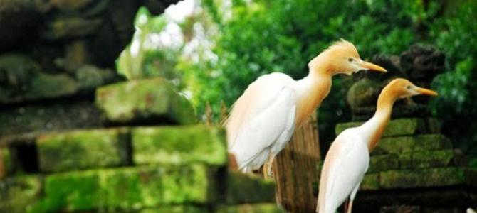 Burung Kokokan di Petulu