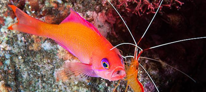 Pinkish Basslet - Bunaken