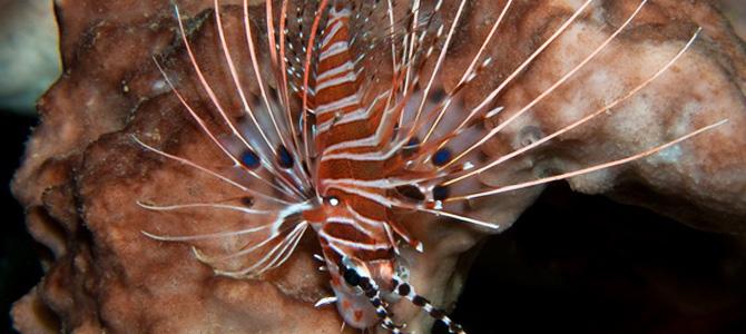 Ikan Singa di Sekotong