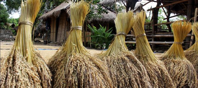 Padi di Dusun Ende