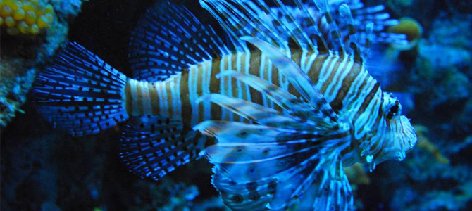 Lion-Fish-Seaworld-Ancol x