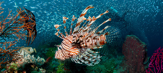 Lion fish  (Foto: Alan Saben)