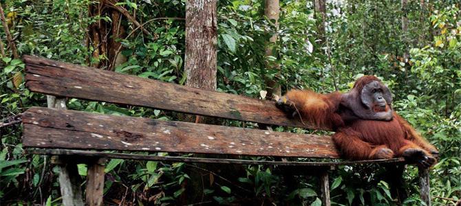 Doyok, si orangutan tua