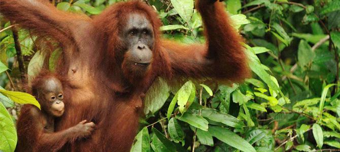 Orangutan dan bayinya di Tanjung Puting