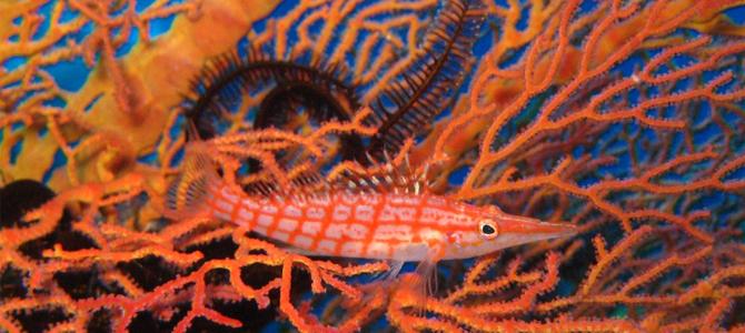 longnose-hawkfish-parigi x