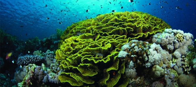 parigi lettuce coral x