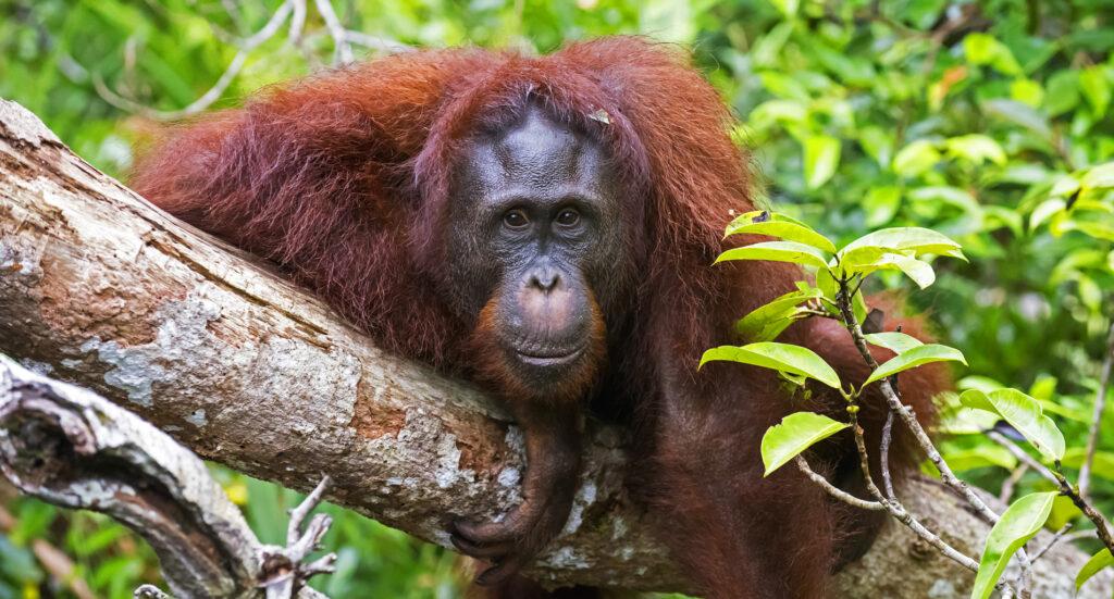 Marco at Tanjungputing by orangutanfoundation